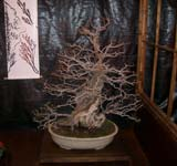Membrillero bonsai